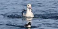 Bird Watching - Albatross Encounter | Kaikoura image 6
