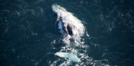 Whale Watching & Scenic Flights - South Pacific Helicopters image 3