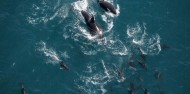 Whale Watching & Scenic Flights - South Pacific Helicopters image 2