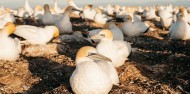 Bird Watching - Cape Kidnappers Gannet Safaris image 4