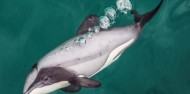 Dolphin Swim - Akaroa Harbour image 4